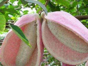八月瓜的功效与作用有哪些 食用八月瓜有哪些好处一览